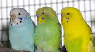 Сколько живут волнистые попугаи