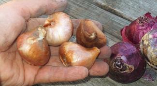 Как сохранить луковицы и корневища цветов до высадки в грунт