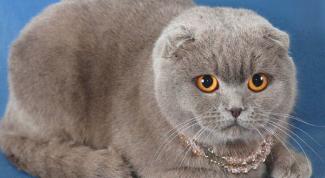 Бывают ли коты-британцы вислоухими