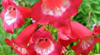 Как выращивать пенстемон многолетний