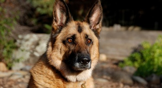What kind of dog is better suited for protection of the territory