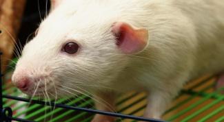 Сколько лет живут домашние крысы
