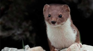 Weasel - pet