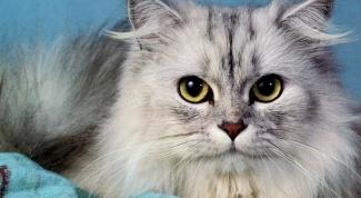 Какая порода кошек самая дорогая