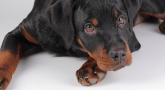 Как сделать так, чтобы собака любила новую хозяйку