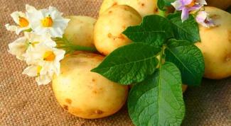 Как прорастить картофель для посадки