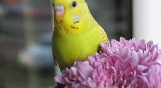 Как выбрать волнистого попугая? Дельные советы