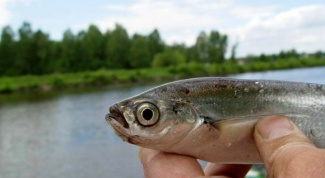 Catching sabrefish: tips seasoned anglers