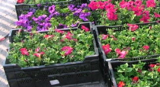 Как выбирать рассаду цветов при покупке