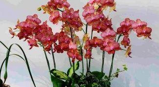 Phalaenopsis at home: do I need to remove stems