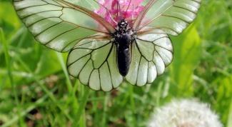 Бабочка-боярышница: как бороться?