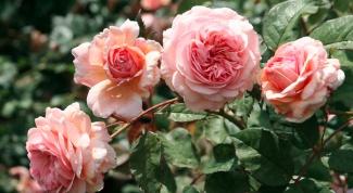 Чего не хватает розам