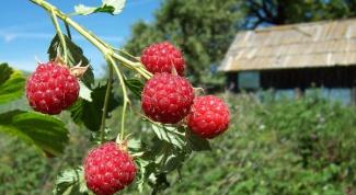 Как увеличить урожай малины