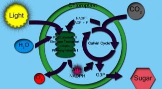 Как растения вырабатывают кислород