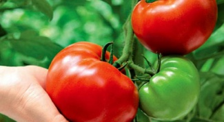 How to protect tomatoes from Phytophthora