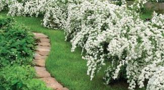 Цветущие живые изгороди: посадка и уход