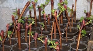 Как вырастить куст из зеленой веточки