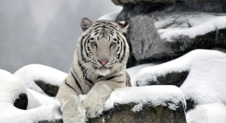 Где обитают белые тигры