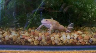 Чем кормить белую лягушку в аквариуме