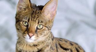 Сколько стоит котенок породы ашера