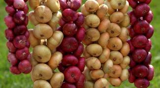 Как добиться богатого урожая лука и чеснока