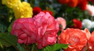 Клубневая бегония, высадка в цветник и уход