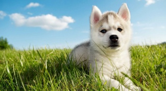 How to choose a puppy husky with the purchase
