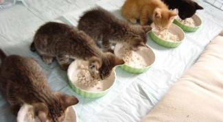 Чем кормить котят: сухой корм или еда со стола?