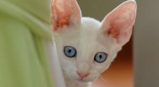 Как лечить инфекцию половой системы у кошек