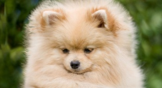 How to care for a puppy Pomeranian