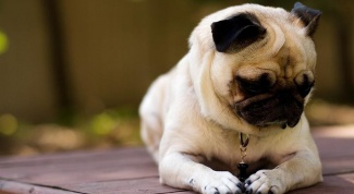 How to care for a pug puppy