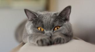 Самые популярные породы домашних кошек
