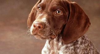 Особенности протекания беременности у собак