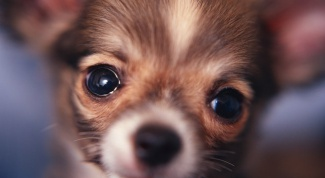 How to choose a puppy toy Terrier
