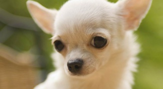 What are the characteristics of the breed Chihuahua-mini