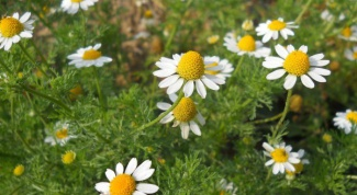 How to collect and dry chamomile