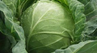 Капуста белокочанная: полезные свойства и рекомендации по приготовлению