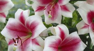 Чтобы лилии пышно цвели