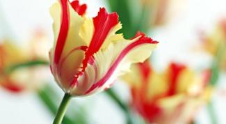 Как реанимировать луковичные цветы-