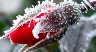 Как защитить растения от заморозков весной
