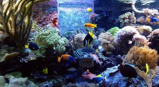 Как определить, что рыбка беременна