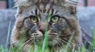Породы кошек больших размеров