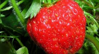 How to grow strawberries gigantella the