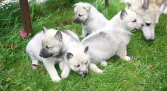 Как определить чистоту породы у щенка лайки
