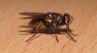 Почему мухи потирают лапкой о лапку
