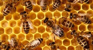 Чем оса отличается от пчелы