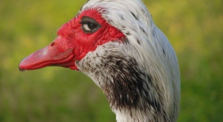 How to distinguish the male from the female Muscovy ducks