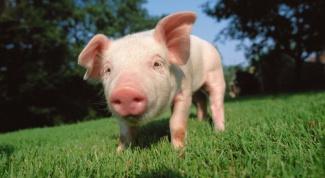 Почему органы свиньи приживаются у человека