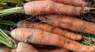 Как избавиться от личинок морковной мухи