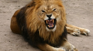 Как живут львы